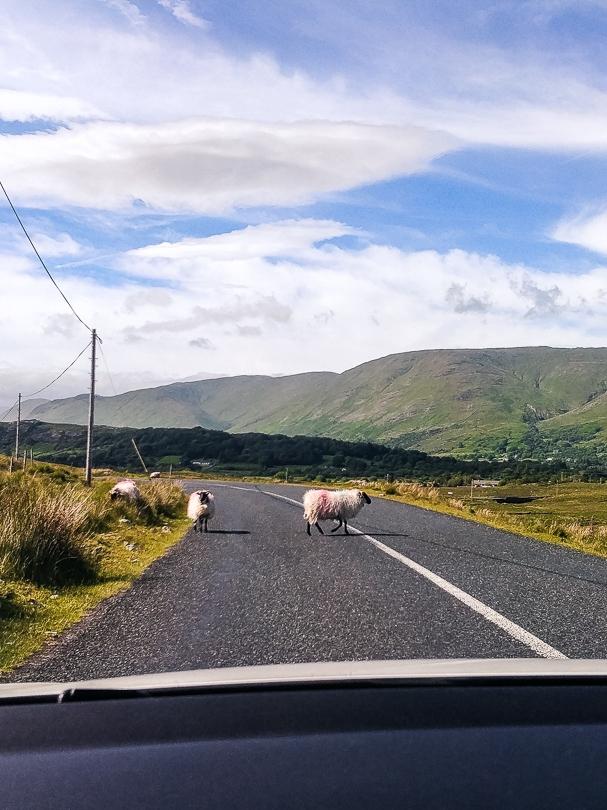 Schafe sind keine Seltenheit bei einer Rundreise durch Irland