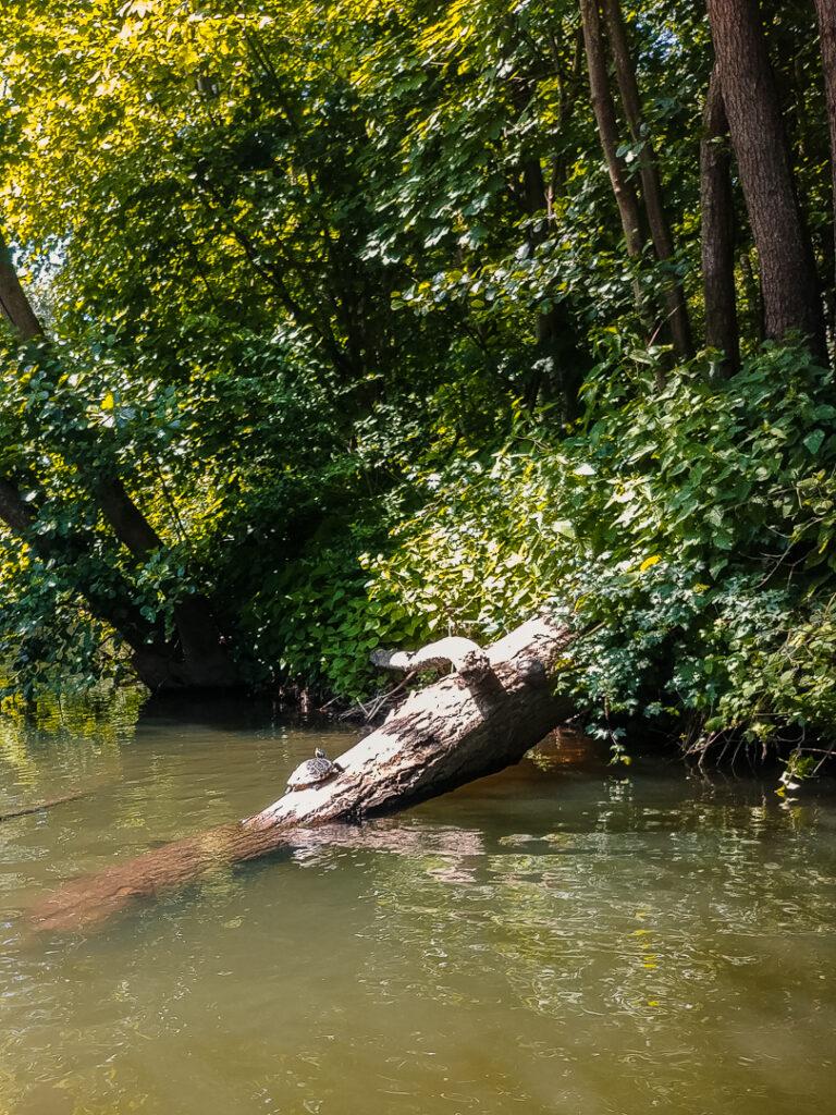 Schildkröten am Ufer der Enz